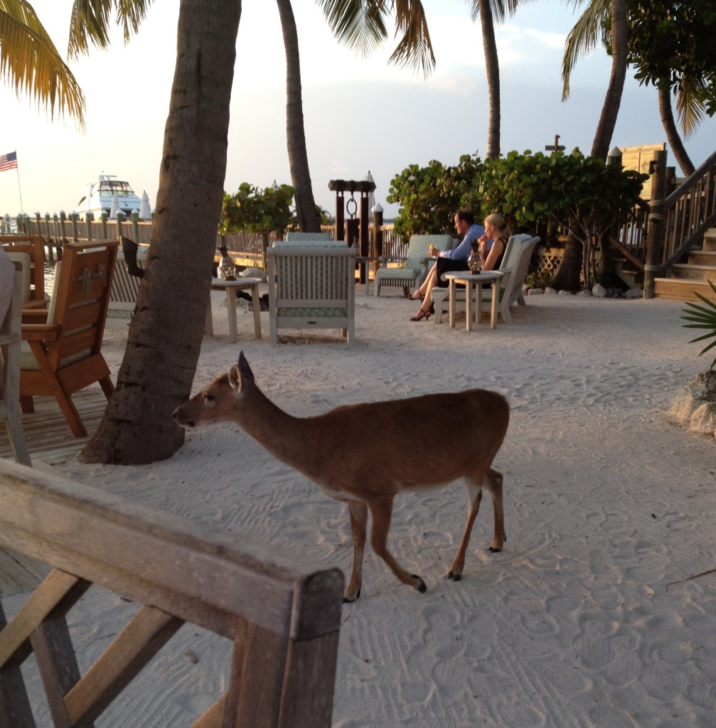 Key Deer at Little Palm Island