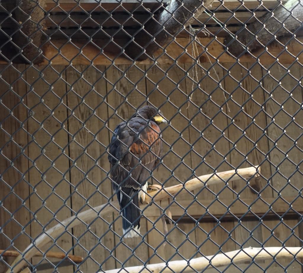 Harris Hawks at Capilano Suspension Park