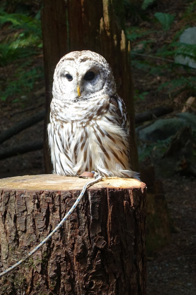 Barred Owl at Capilano Suspension Park