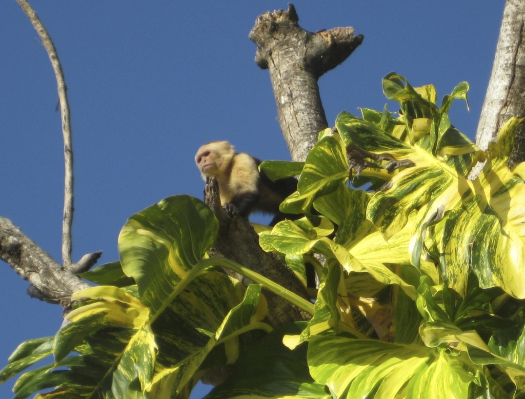 Monkey in the trees of Si Como No Resort