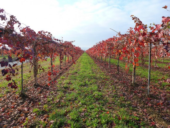 Vineyard in the countryside in Emilia Romagna, Italy (Flickr: Ilaria Sita)