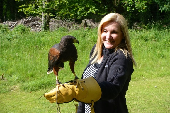 Holding Bomber, a striking Harris Hawk at the School of Falconry Dromoland Castle