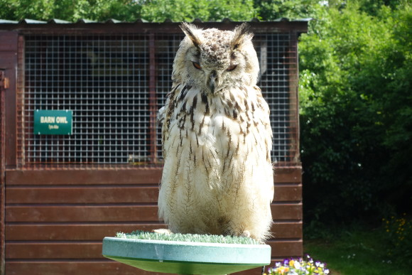 Eagle Owl at The School of Falconry Dromoland Castle