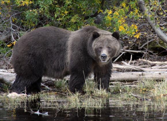 Bear Sighting Photo courtesy of The Chilko Experience Wilderness Resort in British Columbia