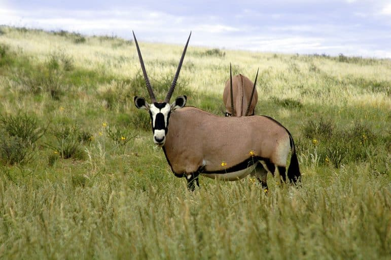 Oryx of the Kgalagadi Transfrontier Park Photo Amada44