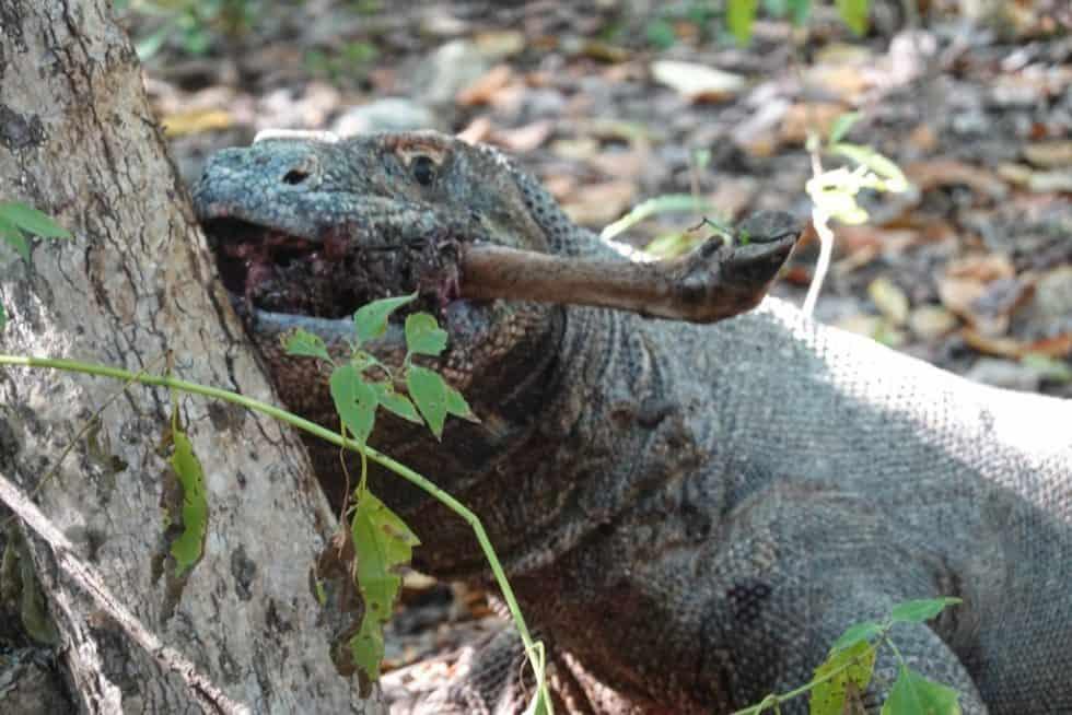 A Komodo Dragon feasting on a deer bone