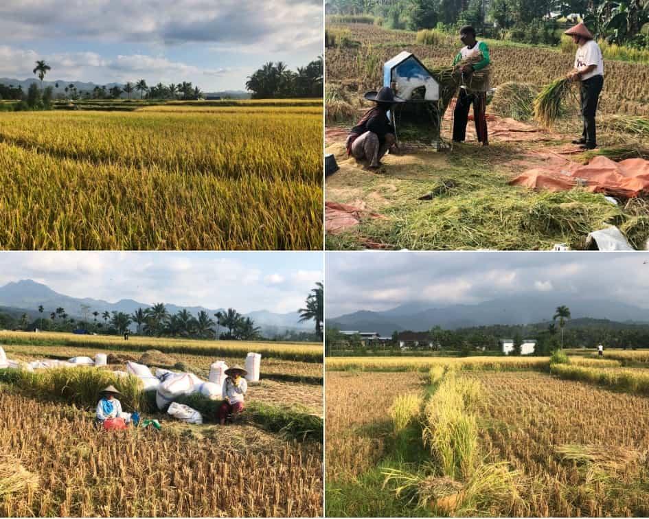 Large Paddy Fields in Lombok Island